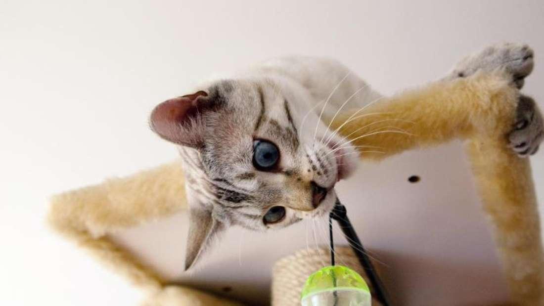 Katzen freuen sich im neuen Zuhause über Spielmöglichkeiten und einen Kratzbaum. Foto: Silvia Marks
