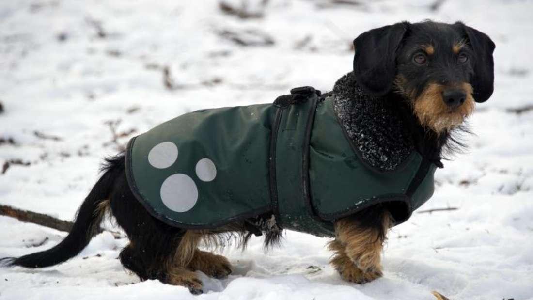 Manche Hunde gehen lieber im Mantel in die Kälte. Halter sollten beim Kauf darauf achten, dass der Hund in seiner Bewegung nicht einschränkt wird. Fotos: Peter Kneffel dpa Foto: Peter Kneffel