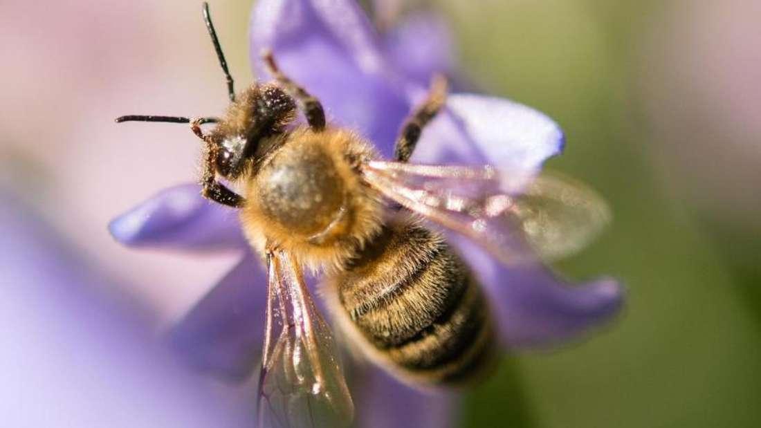Die Biene bevorzugt eher die Stadt als das Land. Foto: Sebastian Gollnow