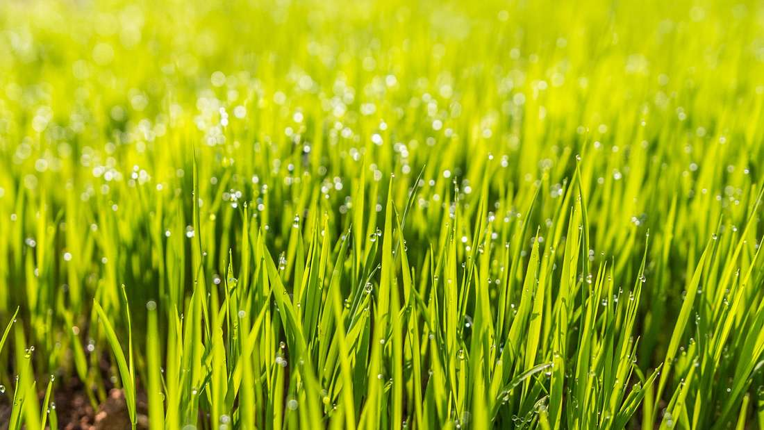 Grün sprießende Grashalme sind eine Augenweide für jeden Hobbygärtner.